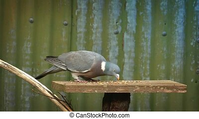 Pigeon Eats Grain Off Bird Table - Pigeon walks around bird...
