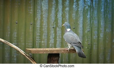 Pigeon Lands On Bird Table And Eats
