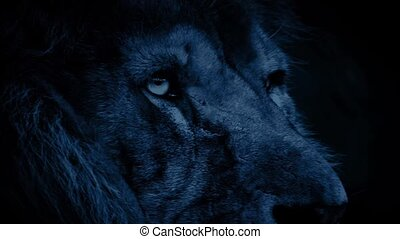 Powerful Lion Face At Night - Closeup of a big male lion...