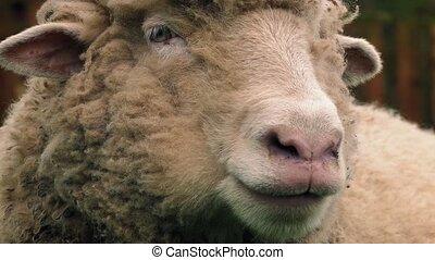 Sheep Chewing The Cud Closeup - Closeup shot of sheep...