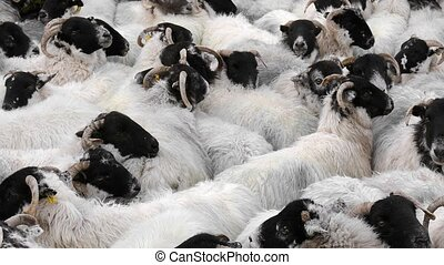 Sheep Crammed Together - Many sheep pushed together in...
