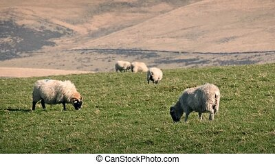 Sheep Eating Grass On Warm Summer - Flock of sheep grazing...
