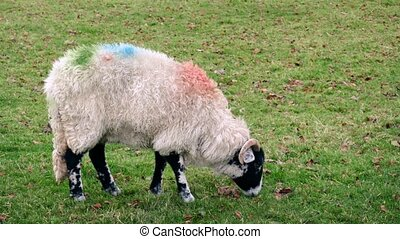 Sheep Grazing Eating Grass