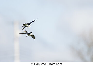 Pair of Tree Swallows - Close encounter for pair of Tree...