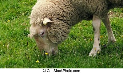 Sheep Grazing On Grass And Flowers - Woolly sheep hungrily...
