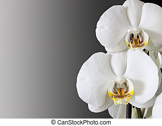 Orchids. - White orchids isolated on a dark background.