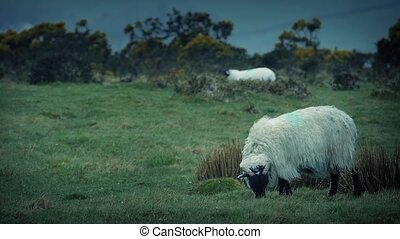 Sheep Grazing On Rugged Windy Hill