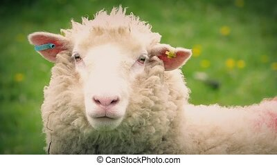 Sheep In Field Closeup - Closeup of woolly sheep looking...
