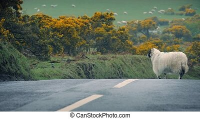 Sheep Leads Lamb Across Road - Ewe crosses road with her...
