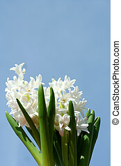 Spring hyacinths - Some Spring hyacinths with blue sky