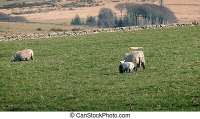 Sheep With New Lamb In Field - Sheep grazing in field with...
