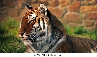 Sleepy Tiger In Sun Yawns - Tiger sitting in the sun does a...