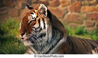 Sleepy Tiger In Sun Yawns