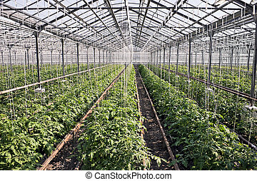 Tomatoes - Tomato plants with tomatoes in hot house