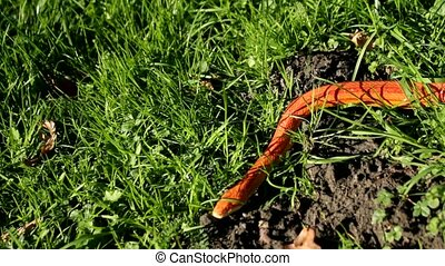 Albino Snake is crawl on grass