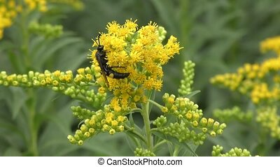 Insect collects nectar in the flower goldenrod