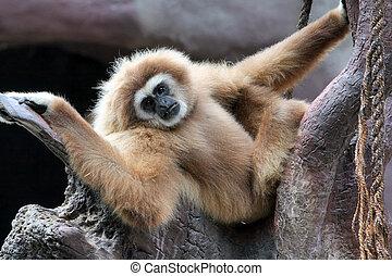 Gibbon (Hylobates Lar)