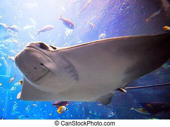 Eagle ray flying underwater Aetobatus narinari swimming over...