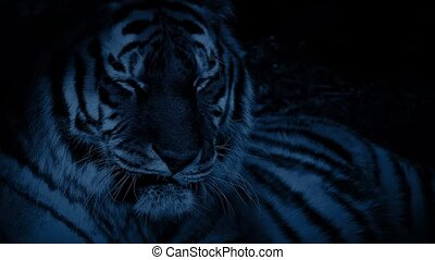 Tiger In The Jungle At Night - Large Bengal tiger resting in...