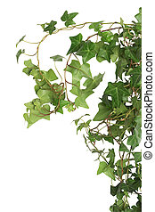 Green Ivy - Nice green ivy isolated on white background with...