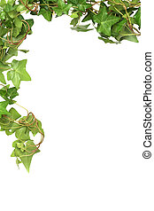 Ivy Border - Nice green ivy isolated on white background...