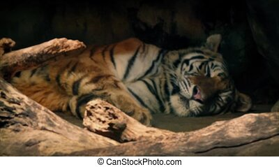 Tiger Resting In The Shade Focus - Focus from branches to...