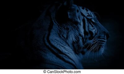 Tiger Yawns In The Night - Closeup of a large tiger looking...