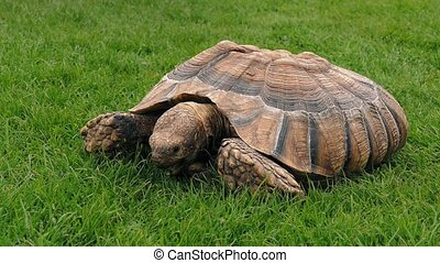 Tortoise Eating In The Grass