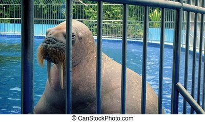 Walrus Basks In Pool At The Zoo - Large walrus dives into...