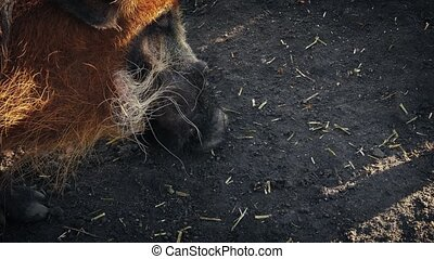 Warthog Sniffing The Ground - Hairy pig sniffs for food in...