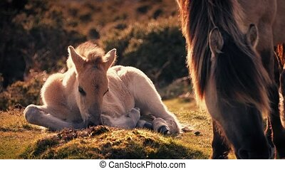 White Horse Foal Lying Near Mother - Baby horse lies close...
