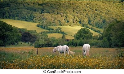 White Horses Grazing In Summer - Couple of horses with fly...