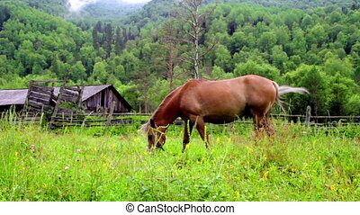Brown horses grazing in mountain meadow - Chestnut horse...