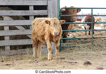 Bull Calf - Brown bull calf wandering on the outside of a...