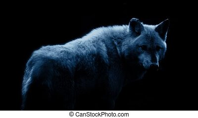 Wolf In Dramatic Moonlight On Black - Wolf against black...
