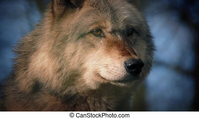 Wolf In The Dark Forest - Big wolf stands alert in dramatic...
