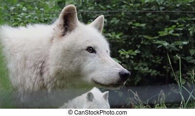 Wolf Licks Lips and Looks Around - Wolf licking lips and...