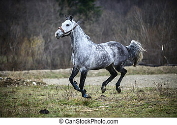 Running gray horse - Color image of a gray horse, running.