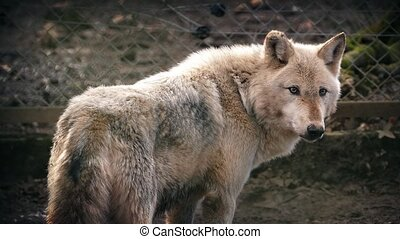 Wolf Looking Around In Sunlight - Male wolf looks around and...