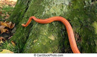 Grass Snake - Ringelnatter on tree - Albino Snake - Grass...