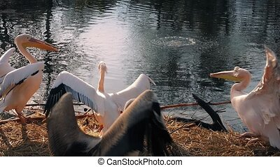 Male Pelicans Challenge Each Other - Young pelicans...