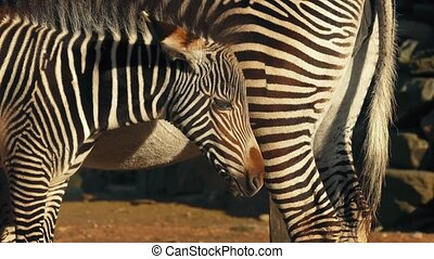 Zebra Foal By Its Mother - Baby zebra standing next to its...