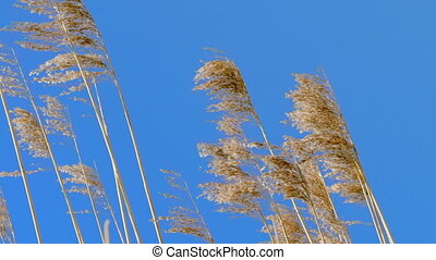Reed tips move by wind - Reed tips moving in wind during...