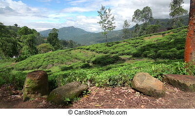 Fields of Nuwara Eliya - Tea fields of Nuwara Eliya in...