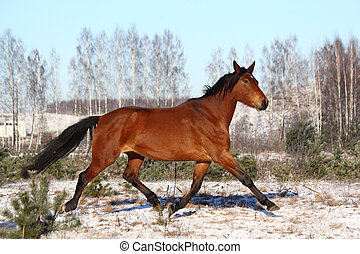 Horse trotting free in winter - Brown horse trotting free in...