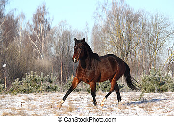 Brown horse trotting free in winter forest