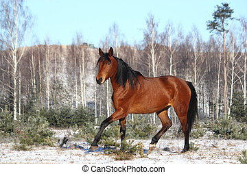Beautiful bay horse trotting free in winter