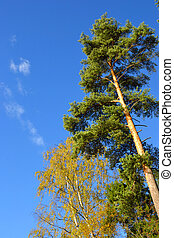 Pine forest at autumn - Pine forest at autumn in Karelian...
