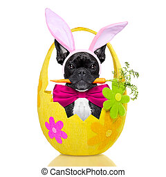 easter bunny dog - french bulldog dog with carrot in mouth...