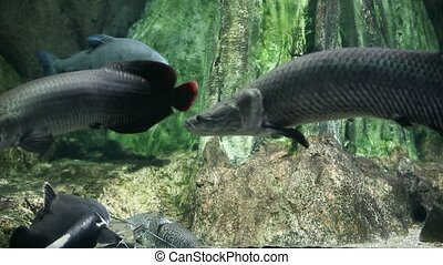 giant Arapaima of the Amazon - Arapaima giant predatory fish...
